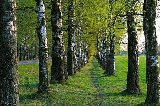Birch, Path, Trees, Living Nature, Tree Trunks