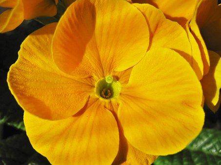 Yellow Primrose, Primrose Flower, Partial View, Detail