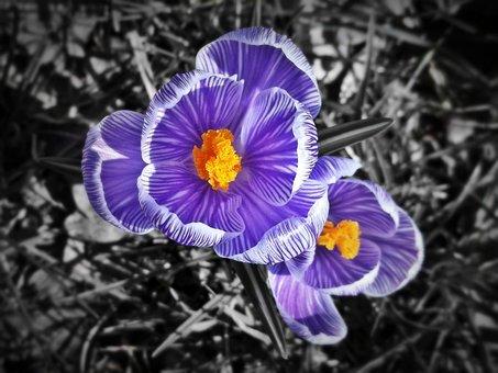 Crocus, Purple, Violet, Spring, Flower, Blossom, Bloom