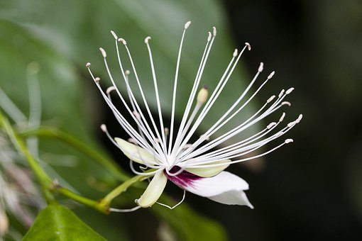 Capparis Micracantha, Blossom, Bloom, Stamp, Stamens