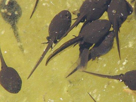 Tadpoles, Water Transformation, Nature, Waters, Swim