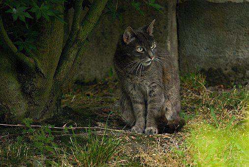 Cat, Tomcat, Gray, Animal, View, Steady, Soot, Pet