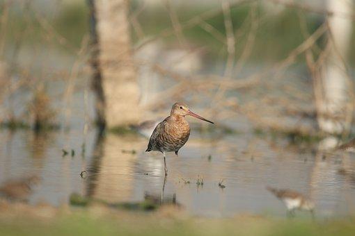 Godwit, Bird, Wading Bird, Beak, Feathers, Plumage, Ave