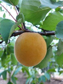 The Apricot, Leaf, Bough, Green, Orange, Garden