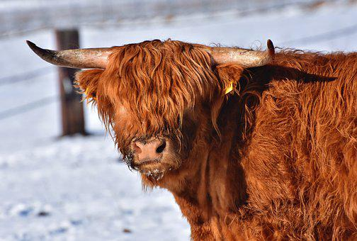 Highland Cattle, Cow, Horns, Hairy, Brown, Cattle