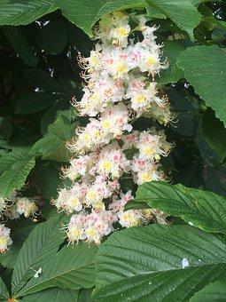 Chestnut Blossom, Nature, Spring, Buckeye, Chestnut