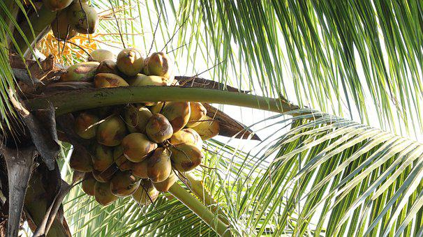 Coconut Cultivation, Coconut Cultivation Board