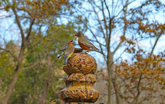 Fight, Birds, Confrontation, Dispute, Wildlife, Robin