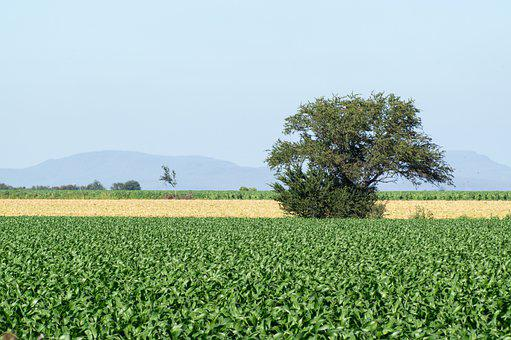 Sinaloa, México, Campo, Corn, Maíz, Field, Nature
