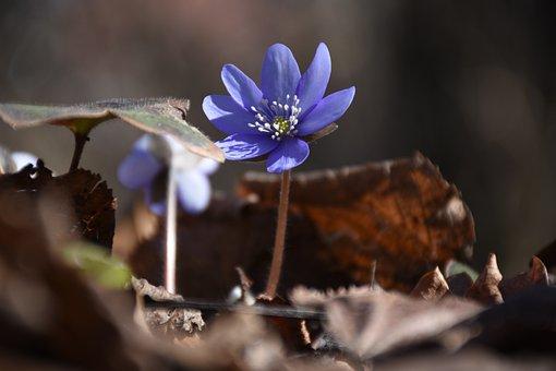 Hepatica, Blue Flower, Blue Petals, Petals, Flower