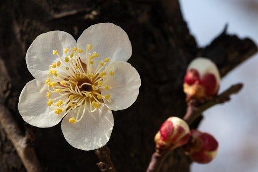 Plum Blossom, Flower, Spring, Plum, Buds, Spring Flower