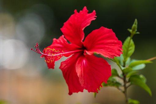 Hibiscus Flowers, Flowers, Natural, Flower, Vietnam