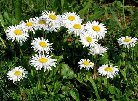 Daisy, Field, Meadow, White Daisies, Flowers