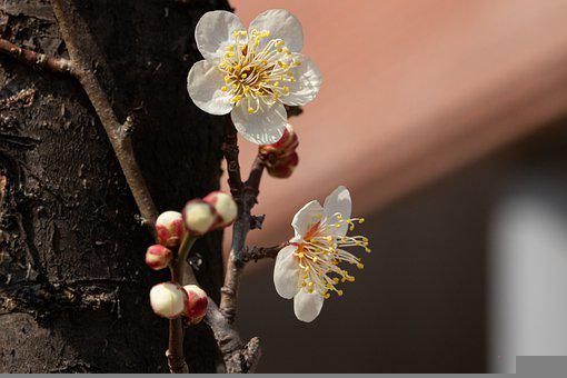 Plum Blossom, Flowers, Spring, Buds, Branch, Plum