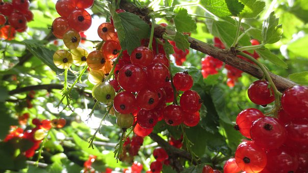 Garden, Fruits, Nature, Red Currants