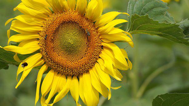 Sunflower, Bees, Honeybees, Sunflower Seeds