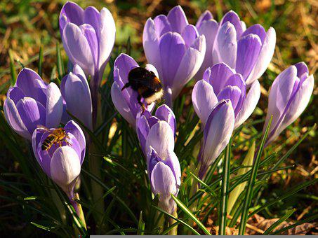 Crocus, Flowers, Bees, Bumblebee, Insects, Animals
