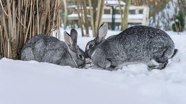 Hare, Rabbit, Chinchilla Rabbit, Snow, Pet, Animal