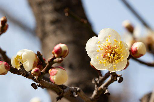Plum Blossom, Flower, Spring, Branch, Plum