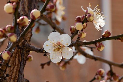 Plum Blossom, Flowers, Spring, Buds, Branch