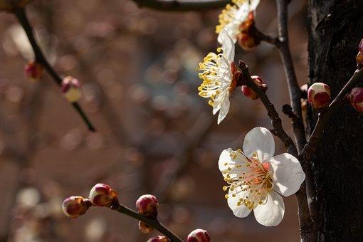 Plum Blossom, Flowers, Spring, Plum, Spring Flowers