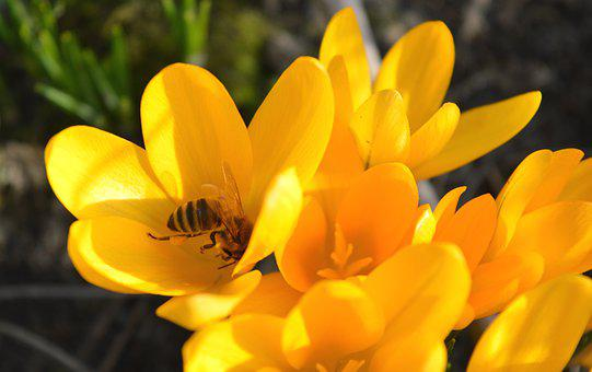 Crocus, Flowers, Bee, Yellow, Pollinate, Pollination