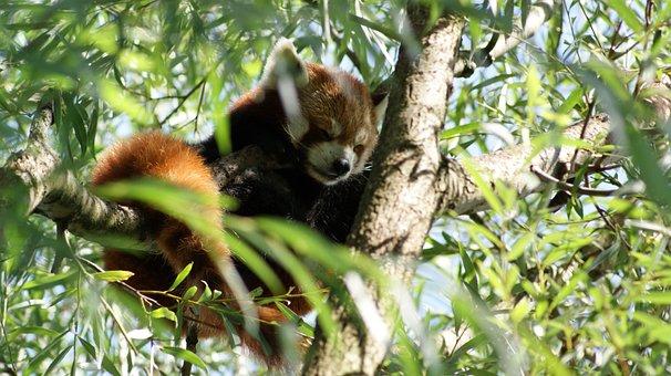Red Panda, Cute, Wildlife