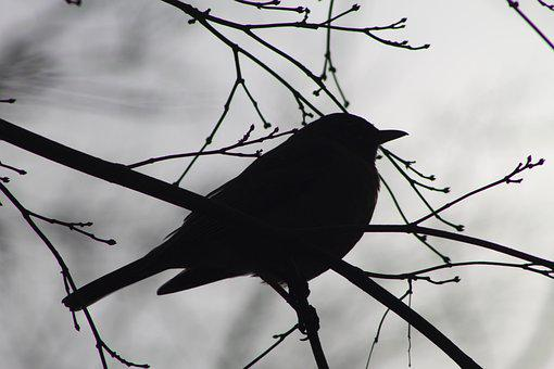 Robin, Bird, Silhouette, Spring, Wildlife, Branch