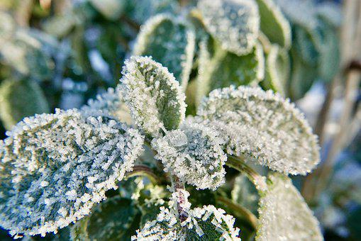 Sage, Plant, Frost, Ice, Ice Crystals, Snow, Winter