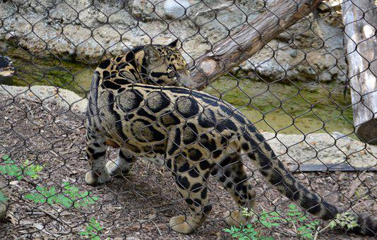 Leopard, Feline, Serval, Cage, Exotic Cat, Wildlife