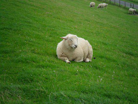 Sheep, Grass, Relaxed, Sleepy, Nap, Wool, Meadow