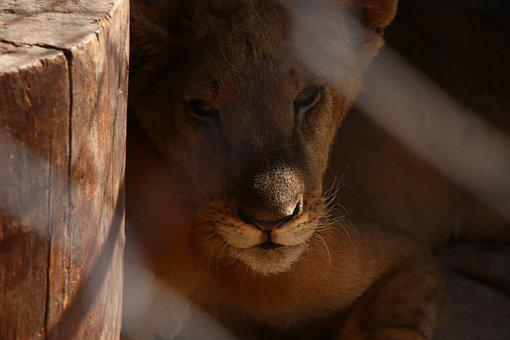 Asiatic Lion, Panthera Leo Leo, Lion, Captive, Wildlife