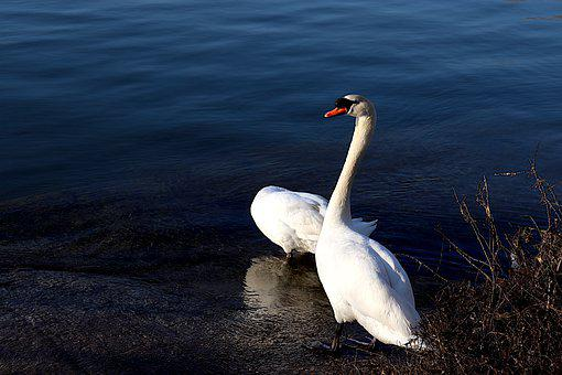 Swans, Birds, Waterfowls, Familiar, Couple, Swim, White