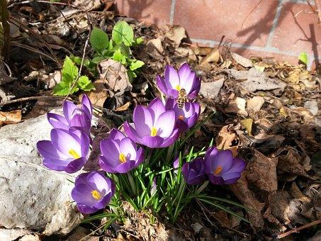 Crocus, Early Bloomer, Bee, Spring, Purple, Bloom