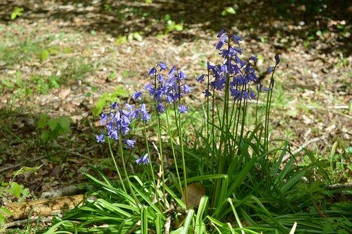 Bluebells, Spring, Woodland, Nature, Bloom, Forest
