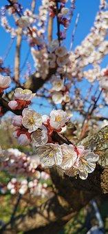 Spring, Tree, Apricot, Flowering, Flower, Petal, Nature