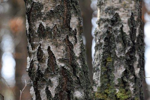 Birch, Tree, Koea, The Bark, Forest, Foliage, Texture