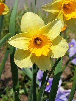 Daffodil, Yellow, Spring, Solemn, Elegant, Garden
