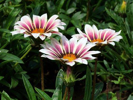 Gorgeous Rain Flower, Gaza To Rigen-old, Garden