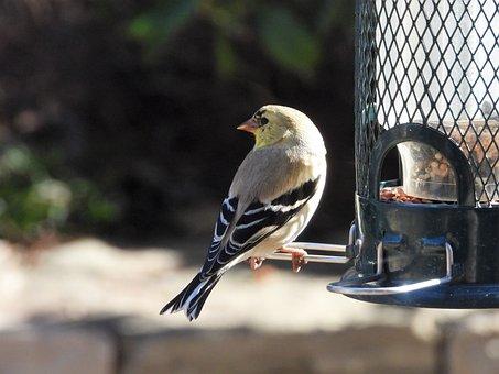 Goldfinch, Winter Plumage, Feeding