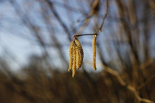 Hazelnut, Bush, Hazel, Pollen, Nature, Spring, Sausage