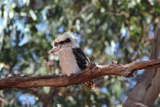 Bird, Kingfisher, Laughing Kookaburra, Juvenile