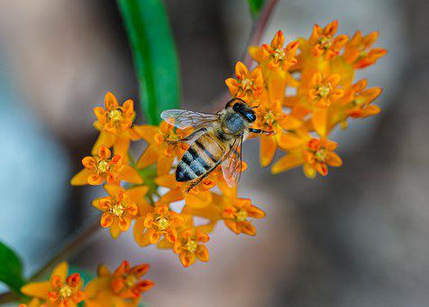 Bee, Milkweed, Butterfly Weed, Orange, Green, Flower