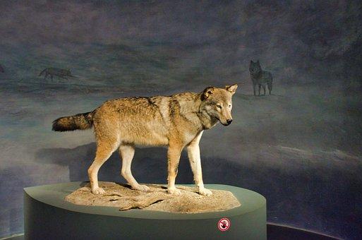 Wolf, Museum, Preparation