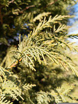 Bush, Evergreen, Coniferous Trees, Nature, Natural