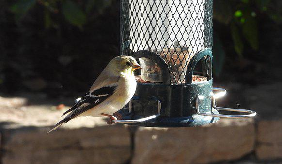 Winter Plumage, Goldfinch, Plumage, Feeding