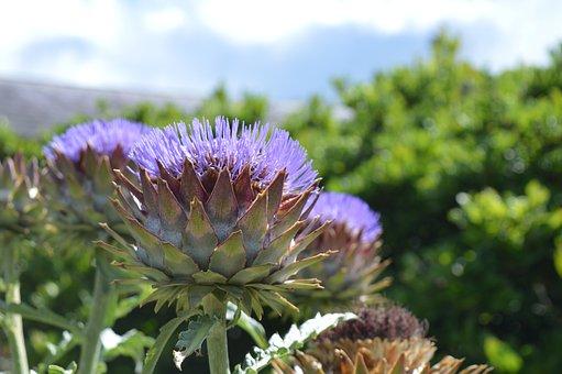 Thistle, Purple, Garden, Flower, Nature, Violet, Flora