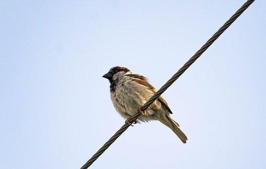 Male Sparrow, Sitting, Electric Wire, Sparrow, Finch