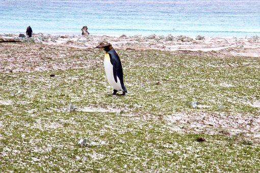 Penguin, Falklands, Falkland Island, South America
