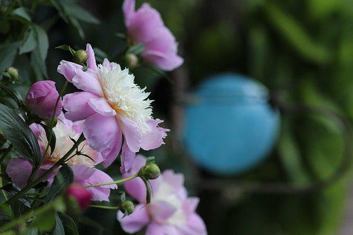 Flowers, Pink, Spring Garden, Peonies, Summer